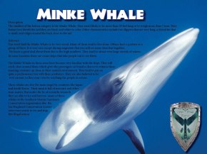 About Minke Whale