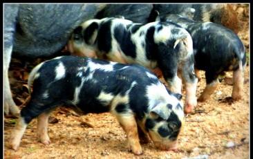 cropped-pigletslomocrop